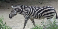 Maryland Zoo Zebra