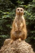 Meerkat LG