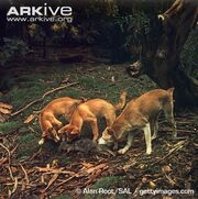 Three Dingoes
