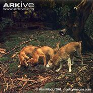 Three Dingoes
