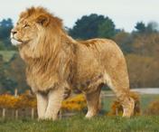 WMSP Lion