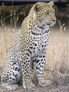 1200px-Leopard africa