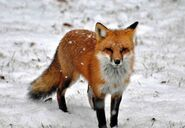 American red fox
