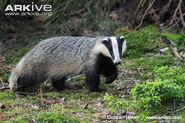Badger, European