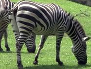 Indianapolis Zoo Zebra