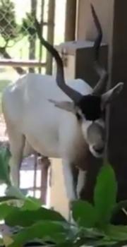 LA Zoo Addax