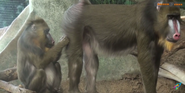 Milwaukee County Zoo Mandrills