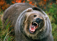 North-america-grizzly-bear-625x450