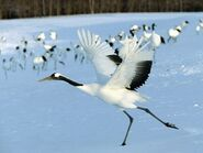 Red-crowned-crane-from-Hokkaido-03