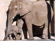 African Elephant (Loxodonta africana) at Hoogle Zoo