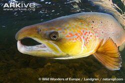 Atlantic-salmon-male