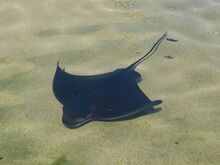 Bat-Ray-Pictures