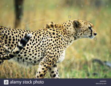 East-african-cheetah-acinonyx-jubatus-raineyii-side-view-AWKW6D