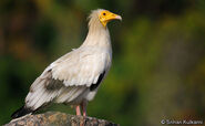 Egyptian Vultures