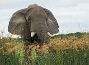 Elephant and the Yellow Flowers