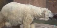 Milwaukee County Zoo Polar Bear
