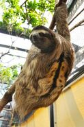 Sloth, Brown-Throated