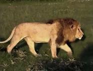 HugoSafari - Lion12