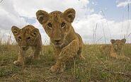 Masai Lion Cubs