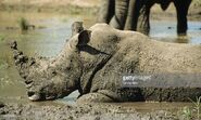 Rhino Enjoying a Mud Bath