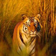 350 Bengal Tier Indien c naturepl.com Francois Savigny WWF