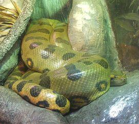 Anaconda, Green