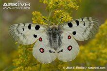 Apollo-butterfly