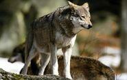 Eurasian Wolf1