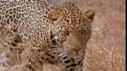 CITIRWN Leopard