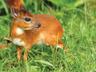 Rusty the Royal Antelope