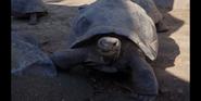 SDZ TV Series Tortoise