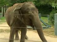 Woodland Park Zoo Asian Elephant