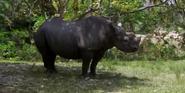 Zoo Miami African Rhino
