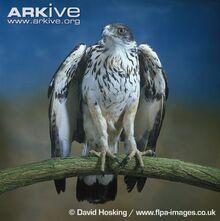African-hawk-eagle-portrait