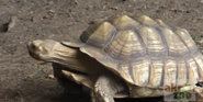 Akroj Zoo Spurred Tortoise
