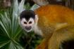 Black-capped Squirrel Monkey (Saimiri boliviensis)
