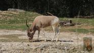 Dallas Zoo Addax