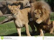 Pair-katanga-lion-panthera-leo-bleyenbergh-36889749