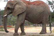 Zoo Miami Elephant