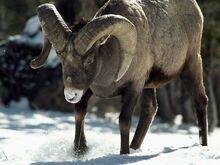 Bighorn-sheep 463 600x450