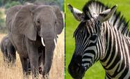 Elephant Zebra Mouse