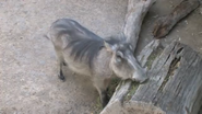 Fort Worth Zoo Warthog