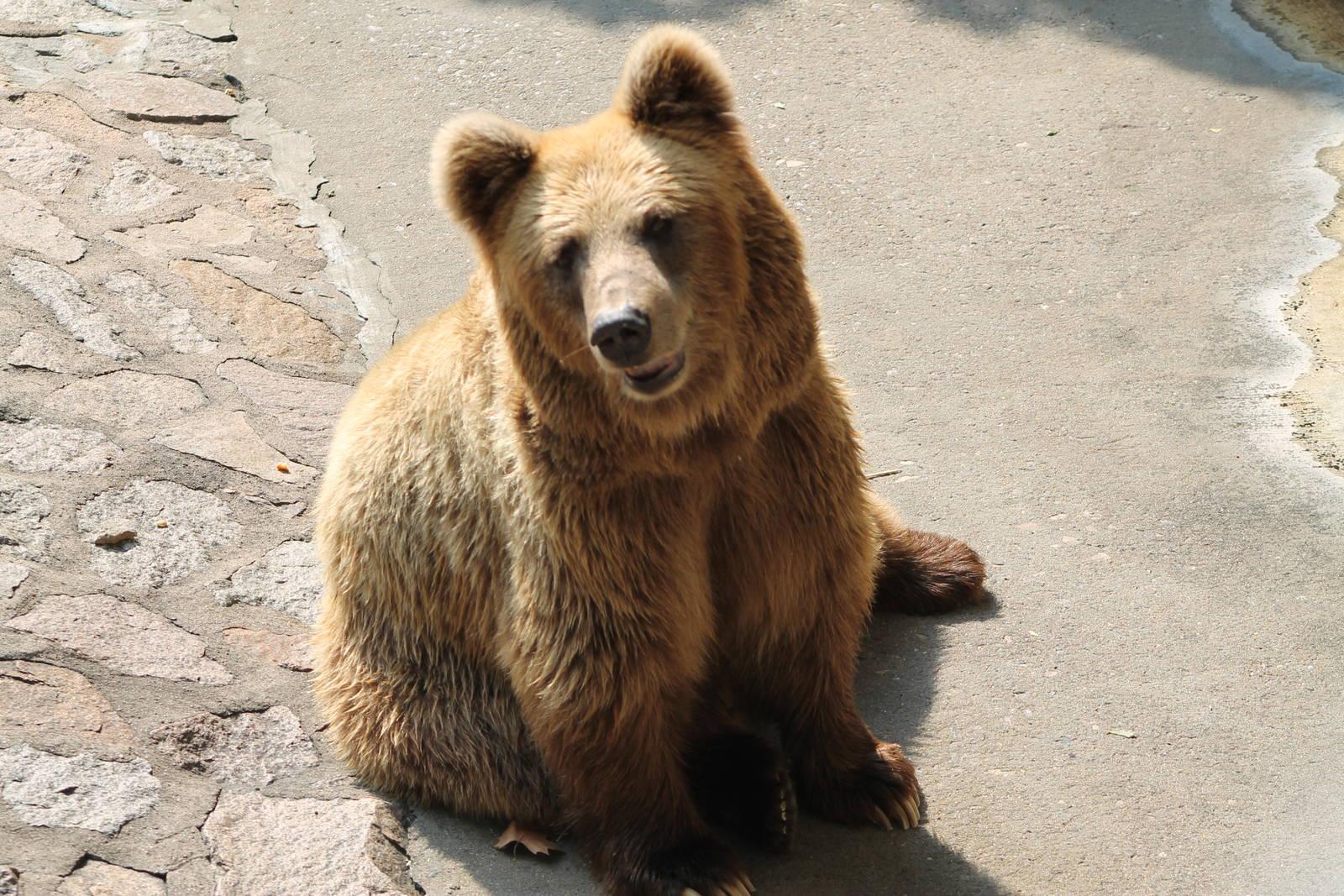 Himalayan bear: photo, description, habitat and lifestyle of the animal 25