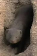 Zoboomafoo Mongoose