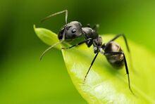 Ant (Animals)