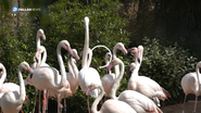 Fort Worth Zoo Greater Flamingos