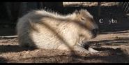 San Diego Zoo Capybara