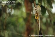 South-american-squirrel-monkey-on-branch