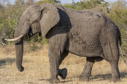 African Elephant (Animals)