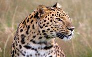 Indian-leopard